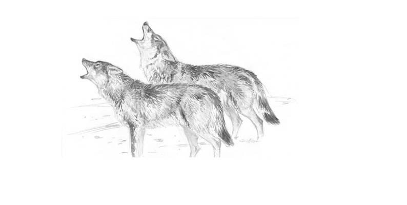 5 lobos nutri que le doy de comer VI