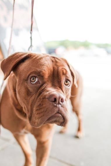 perro marron